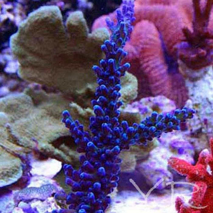 cali-blue-tort-68-700x700.jpg