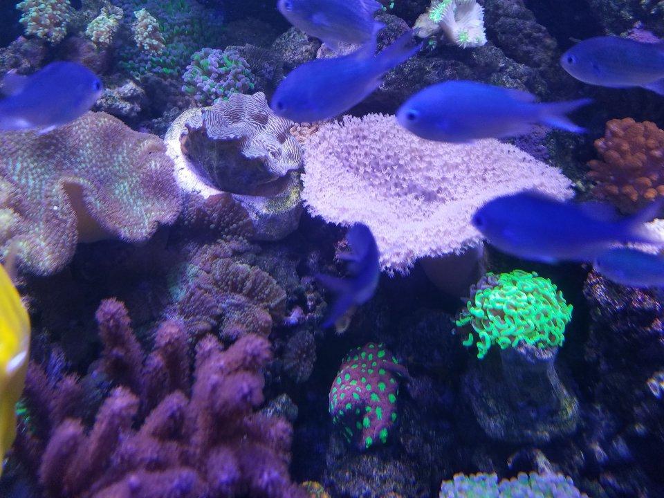 Chromis clam.jpg