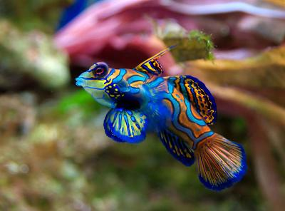mandarinfish3-male.jpg