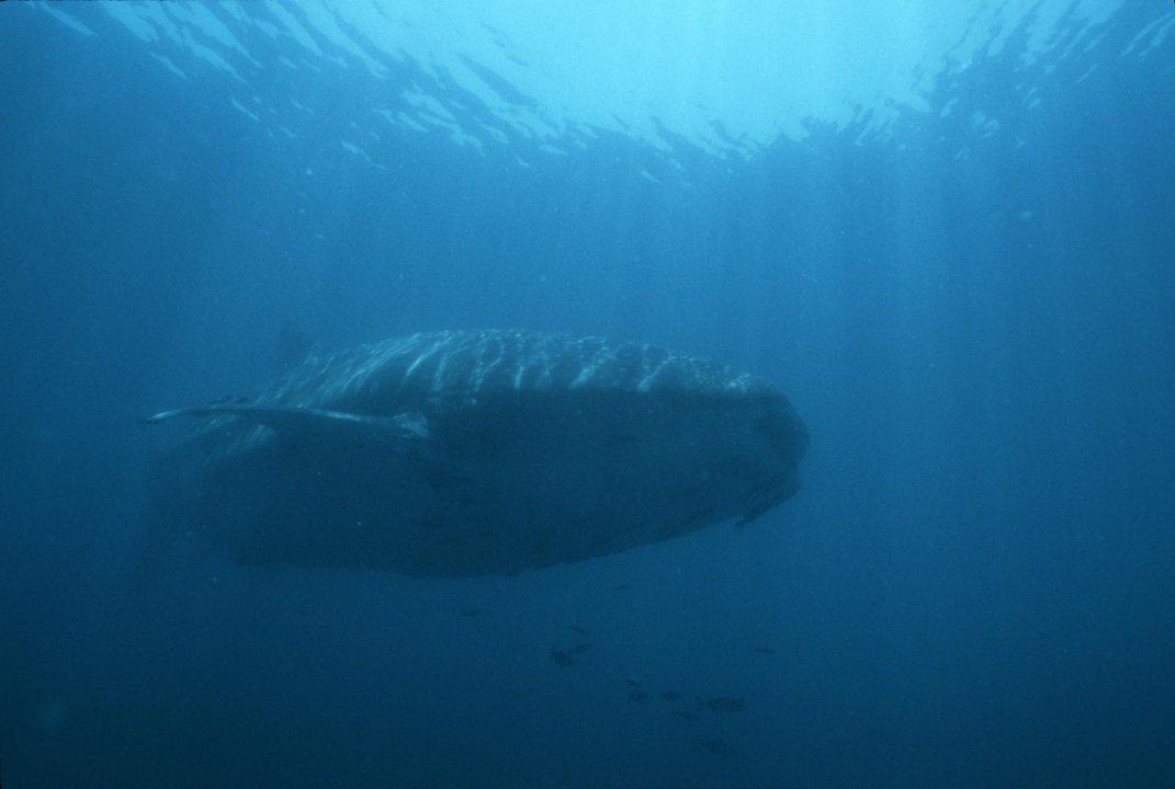 Whale shark 3.jpg